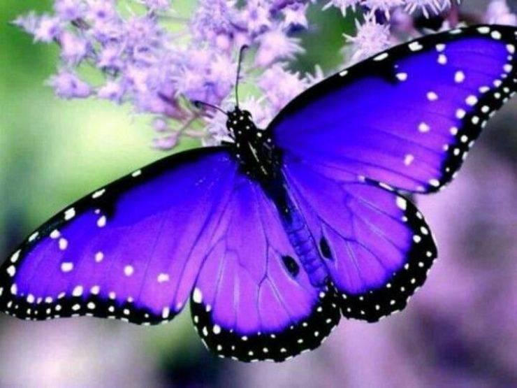 farfalle più belle del mondo