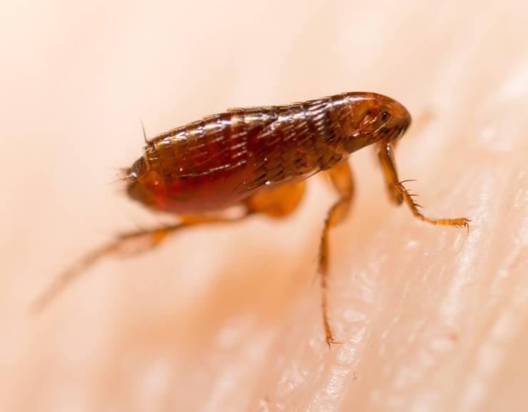 pulce pulci insetti
