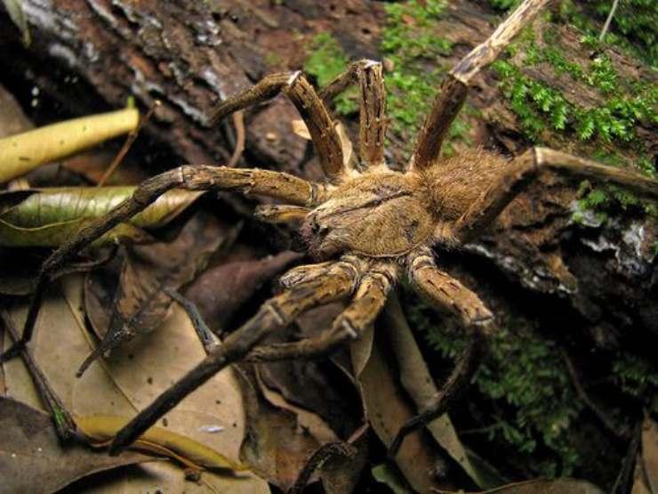 ragno errante del brasile pinterest