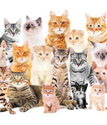razze di gatti più amate.