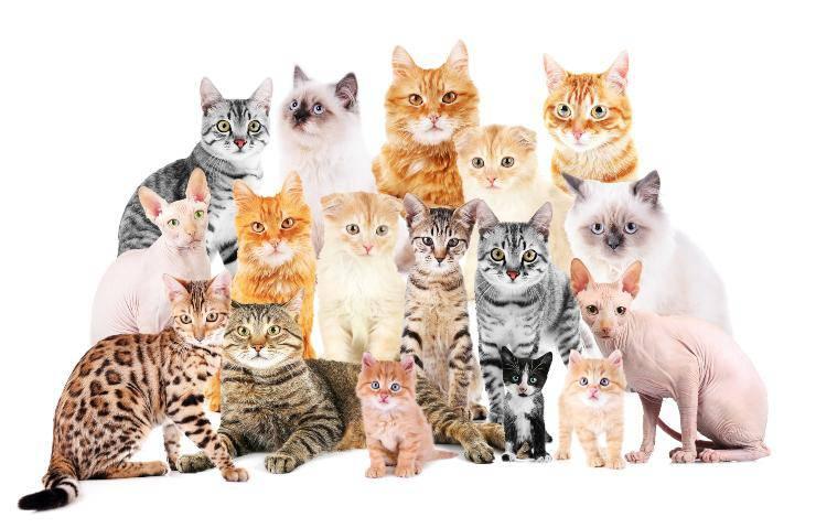 razze di gatti più amate