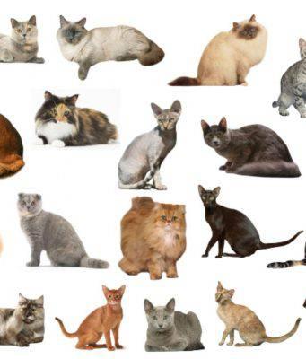 razze di gatto