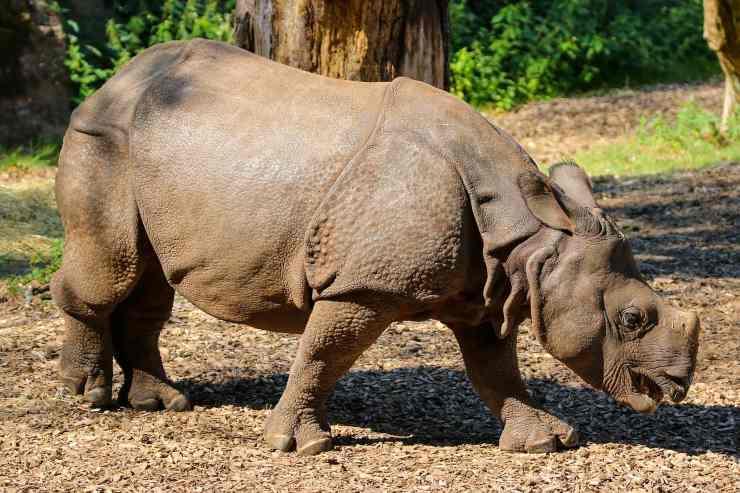 rinoceronte bracconaggio