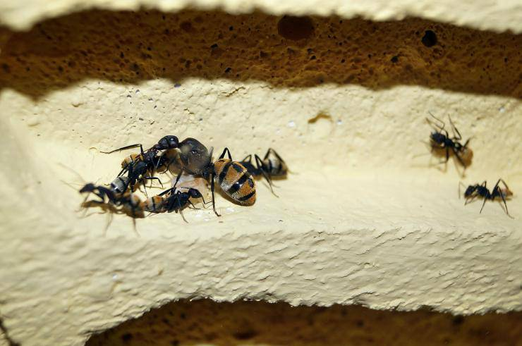 La formica regina seppellisce