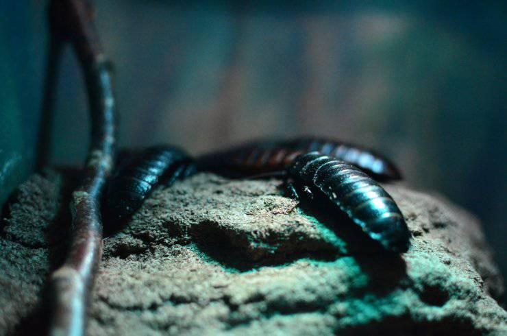 Curiosità sullo scarafaggio