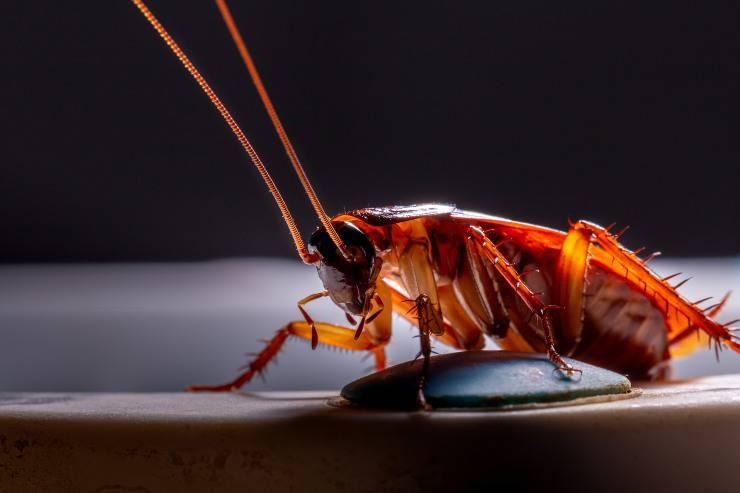 scarafaggio scarafaggi