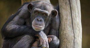 Similitudini e differenze tra uomo e scimpanzé