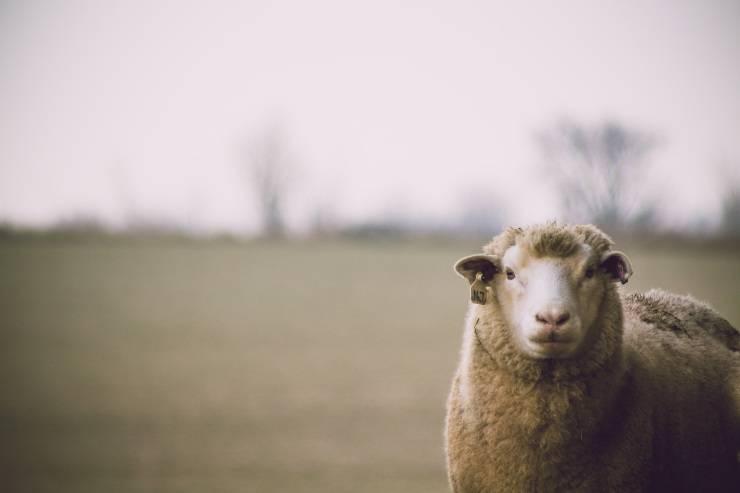 pecora lana ovino