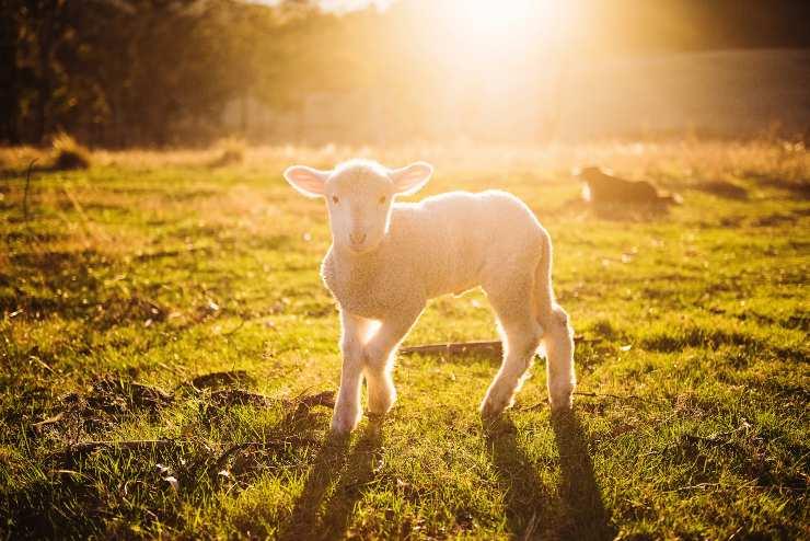 pecorella agnelli