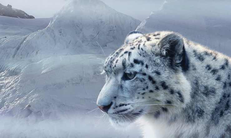 Leopardo delle nevi in posa (Foto Pixabay)