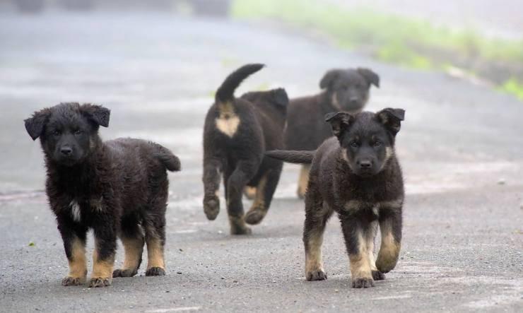 Cuccioli randagi (Foto Pixabay)