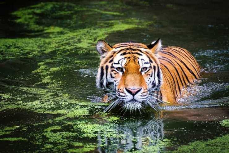 La tigre ama l'acqua