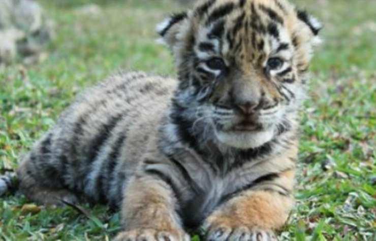 Il cucciolo di tigre del Bengala (Foto di pubblico dominio)