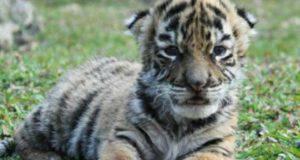 Cucciolo di tigre (Foto di pubblico dominio)