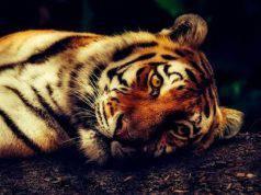 tigre New York positiva covid-19