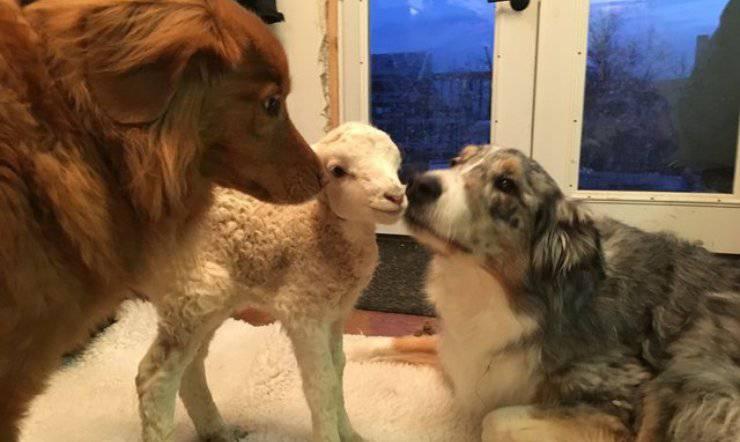 amicizia cani agnellino