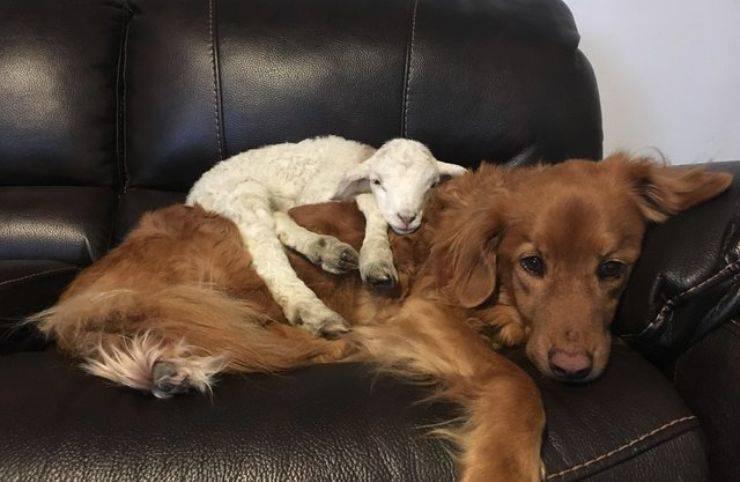 amicizia cane agnello