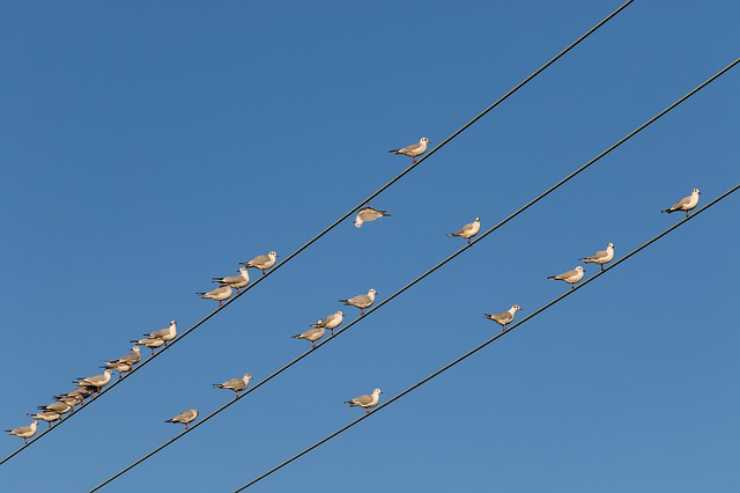 gli uccelli sui cavi
