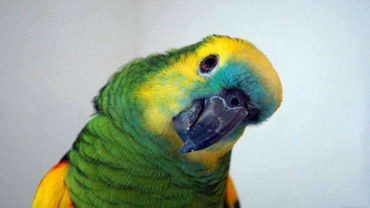 vista pappagallo