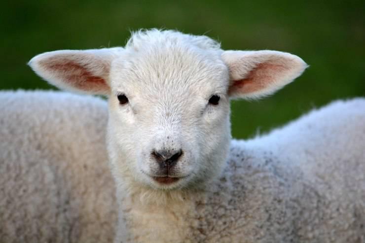 pecorella agnello