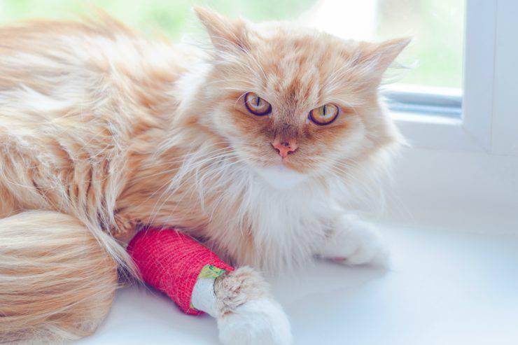 Frattura della zampa del gatto