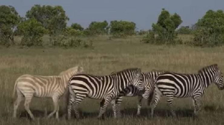 zebra albina