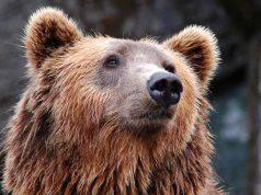 orso simbologia significato