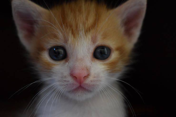 razza di gatto migliore