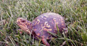 tartaruga da cosa dipende la vita media