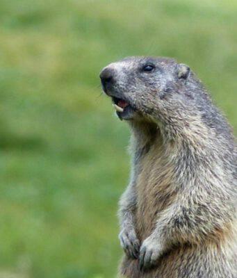 10 curiosità sulla marmotta