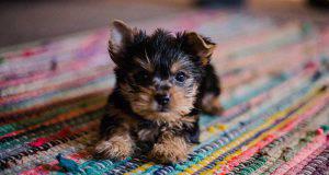 Il sistema immunitario del cucciolo di cane