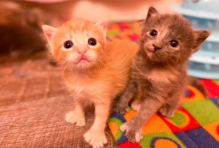 gatti con la polidattilia