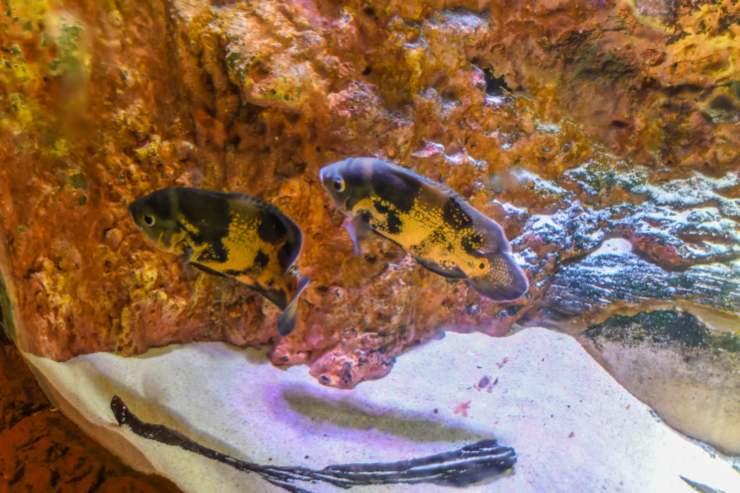 Pesce Pacu
