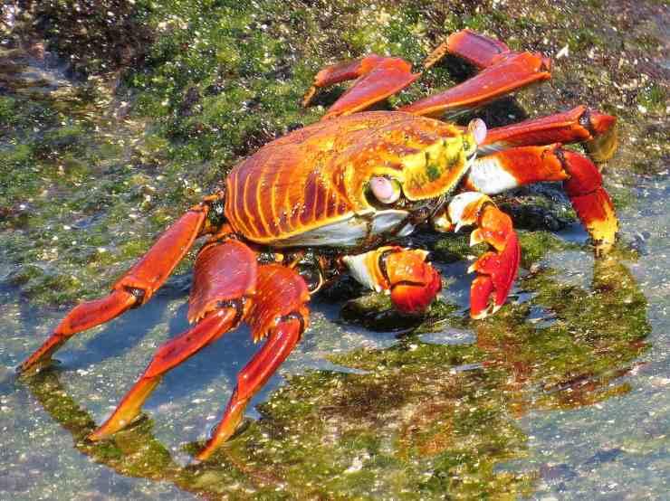 granchio rosso galapagos