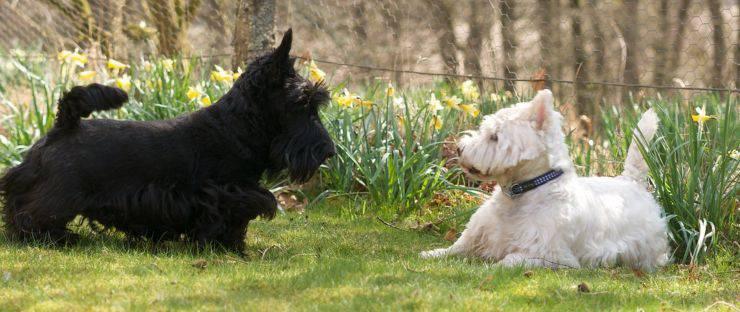 Scottish Terrier cani