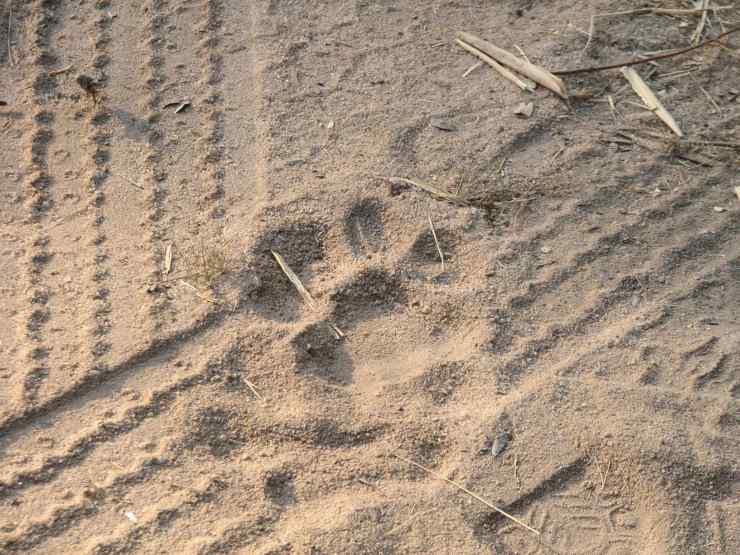 impronte tigre