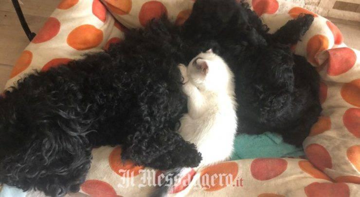 Cane allatta cucciolo gatto