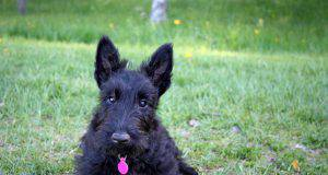 Scottish Terrier: i pro e contro