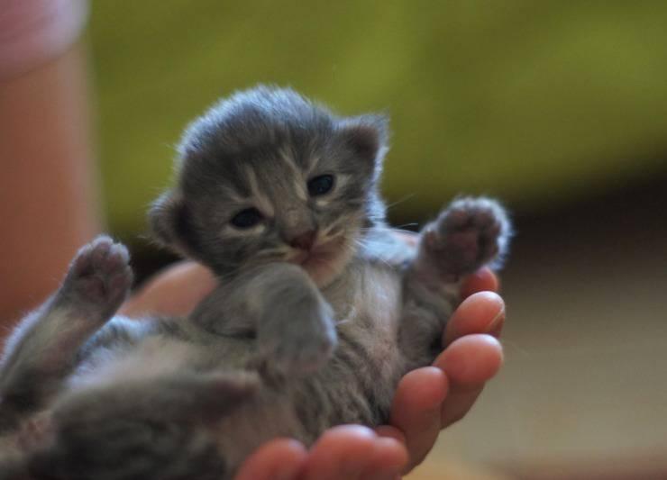 Il sistema immunitario del gattino: consigli pratici per migliorarlo
