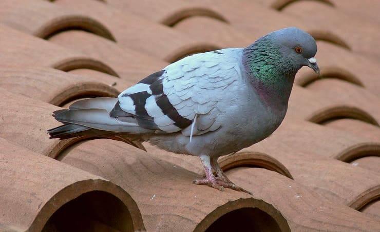 Rimedi per allontanare i piccioni