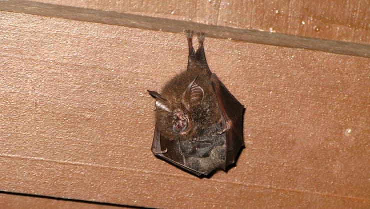 Pipistrello nella stanza