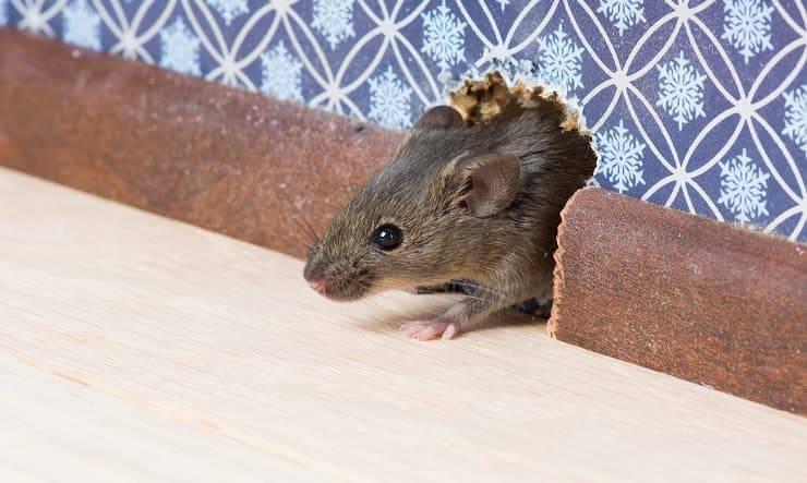 Un topo in casa