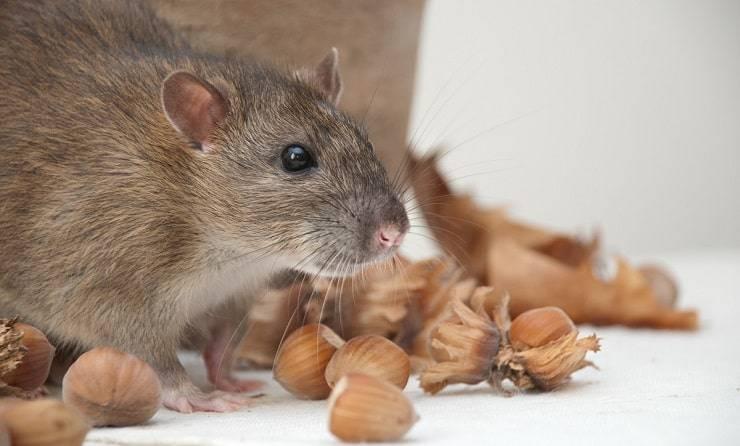 Proteggere la casa dai topi
