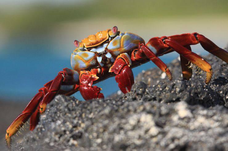 grapsus grapsus granchio rosso galapagos