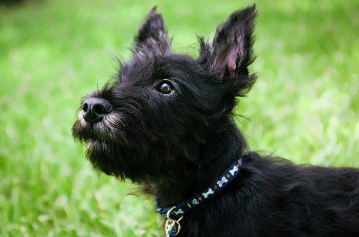 scozzese cane nero