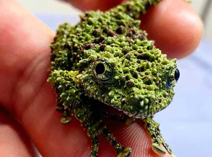 La rana muschio sveglia (Foto GettyImages)