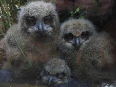 I tre gufetti (Foto Facebook)