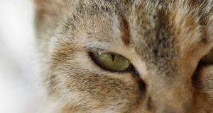 secrezioni oculari gatto
