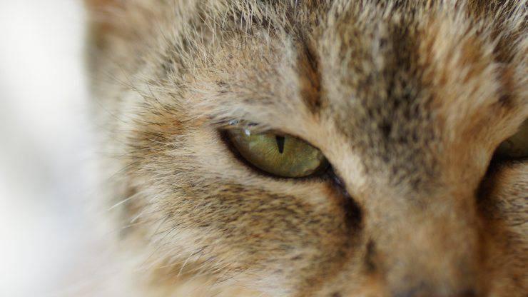 secrezioni occhi gatto