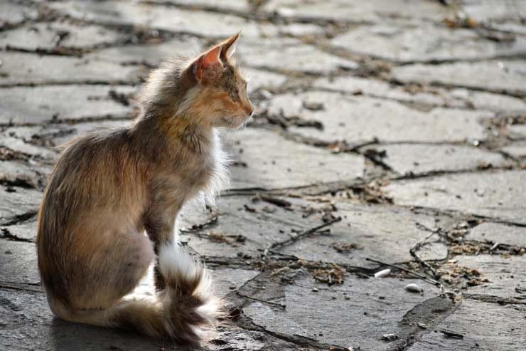 Gatto randagio (Foto Adobestock)
